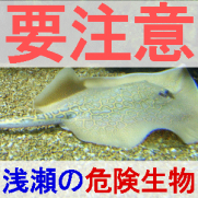 潮干狩りの危険生物を紹介するエイの画像
